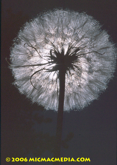 Nugget #77 B Dandelion 2 silhuouette